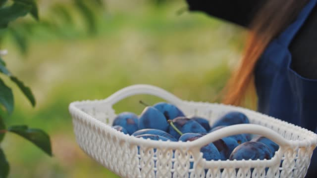 Portrait of young woman picking fresh plums from the tree and put it into the basket, close up shot Young woman picking fresh plums from the tree and put it into the basket. Harvest of plums in orchard during sunset plum stock videos & royalty-free footage