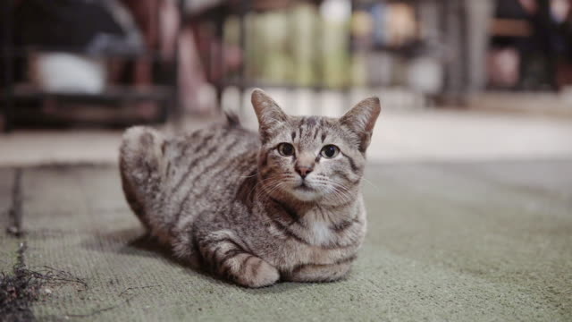 portrait striped kitten sitting on floor. - gatto soriano video stock e b–roll