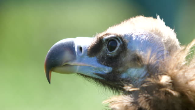 Portrait vulture in profile Portrait vulture in profile vulture stock videos & royalty-free footage