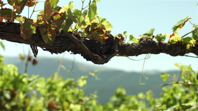 portuguese vineyards - celorico de basto - qta da raza - azienda vinicola video stock e b–roll