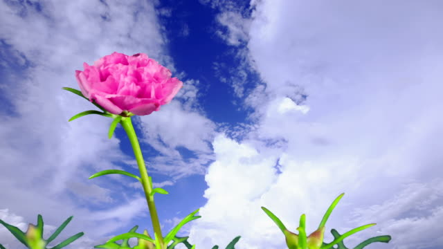 Portulaca flower blooming and moving cloud on blue sky video