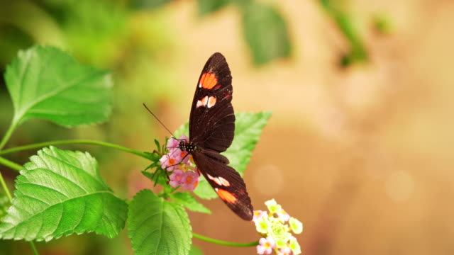 4K - Postman Butterfly Collects Nectar of Flowers
