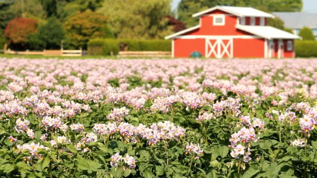 potato blossoms, barn background - roof farm bildbanksvideor och videomaterial från bakom kulisserna
