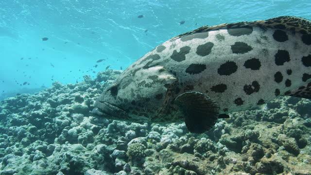 vídeos y material grabado en eventos de stock de bacalao de patata o mero o lubina en arrecife. grabado con cámara roja. osprey reef & cod hole. gran barrera de coral. - palaos