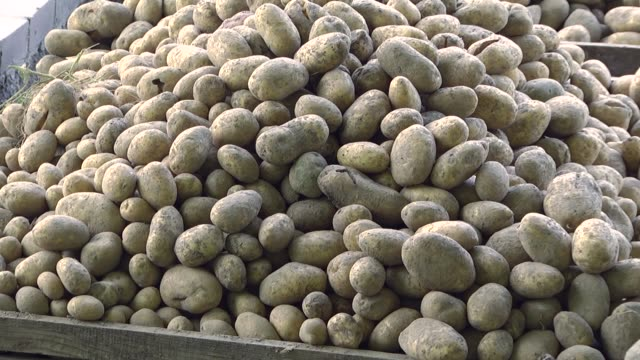 kartoffelernte. kartoffelernte auf einem landwirtschaftlichen feld. kartoffeln in einer holzkiste. - knollig stock-videos und b-roll-filmmaterial