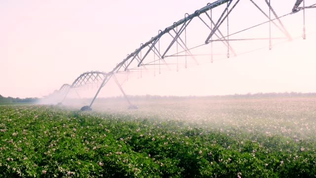 Potato field irrigated by pivot sprinkler system. modern watering, irrigation system technologies in work, on field with potato rows. farming. Agriculture. summer sunny day - vídeo