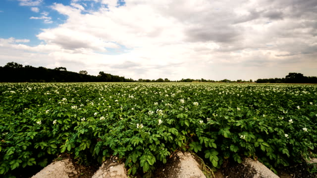campo di patate in time-lapse - patate video stock e b–roll