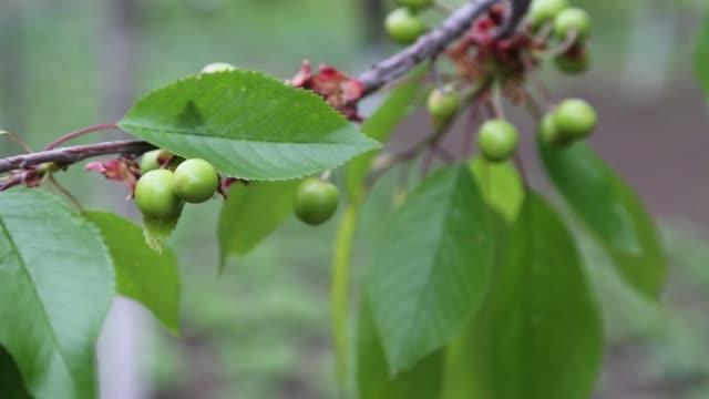 強烈な緑色のジャガイモの植物は、彼らがスイングさせる風によって移動されます。 - 熟していない点の映像素材/bロール