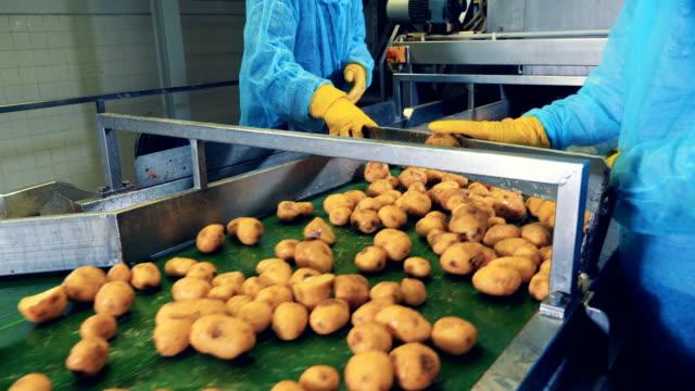 kartoffelknollen werden manuell geschnitten, während sie sich entlang des bandes bewegen - knollig stock-videos und b-roll-filmmaterial