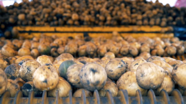 potato tubers are moving and falling from a harvesting mechanism. agriculture farming concept. - patate video stock e b–roll
