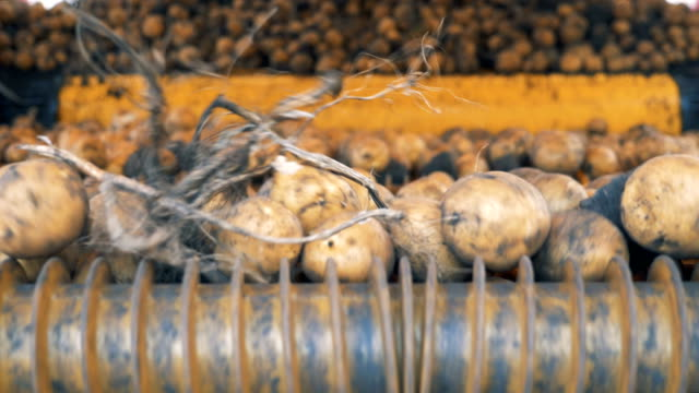 Potato tubers are moving inside of an agricultural mechanism. Harvesting concept. Dug-out potato tubers are moving inside of an agricultural mechanism. 4K prepared potato stock videos & royalty-free footage