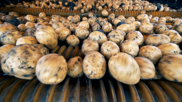 Potato tubers inside of a harvesting mechanism. Fresh harvest concept. Rolling down process of potato tubers shot inside of a harvesting mechanism. 4K prepared potato stock videos & royalty-free footage