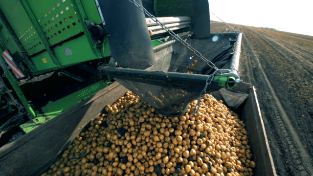 Potatoes fall from a conveyor at a tractor, close up.