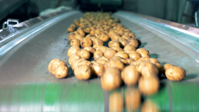 Potatoes moving on a factory conveyor. Dirty potatoes go on a conveyor at a plant.