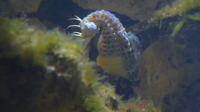 Pot-bellied seahorses behind a rock video