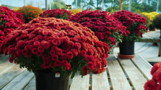 Pots with red chrysanthemums on a wooden counter. Plant nursery, flower sale concept