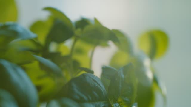 krukväxt basilika, närbild. blad av intensiv grön färg, med droppar dagg, smeks av den kvinnliga handen av en kaukasisk kvinna. - basilika ört bildbanksvideor och videomaterial från bakom kulisserna