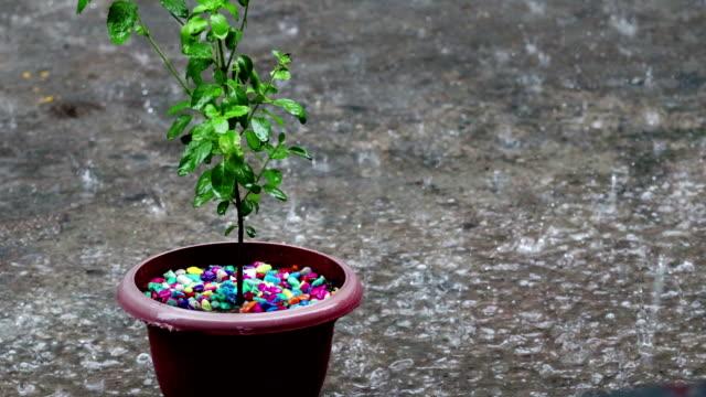 kruk växt basilika (tulsi) & heavy rain - basilika ört bildbanksvideor och videomaterial från bakom kulisserna