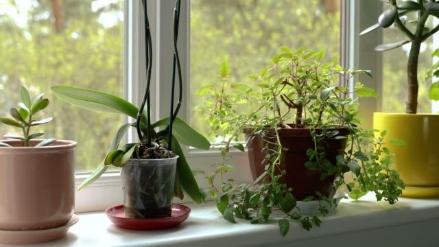 陽光明媚的家庭窗臺上的盆栽室內植物 - 植物 個影片檔及 b 捲影像