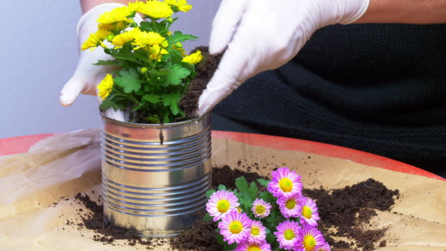 Potting Chrysanthemums In A Used Tin Can Close-up real time shot made in 4K/Ultra High Definition. True 4:2:2 at 10bit flower pot stock videos & royalty-free footage