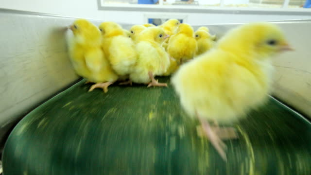 poultry, cute chicks on a conveyor. chick at a poultry. - młody ptak filmów i materiałów b-roll