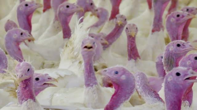 poultry farm fattening turkeys - młody ptak filmów i materiałów b-roll