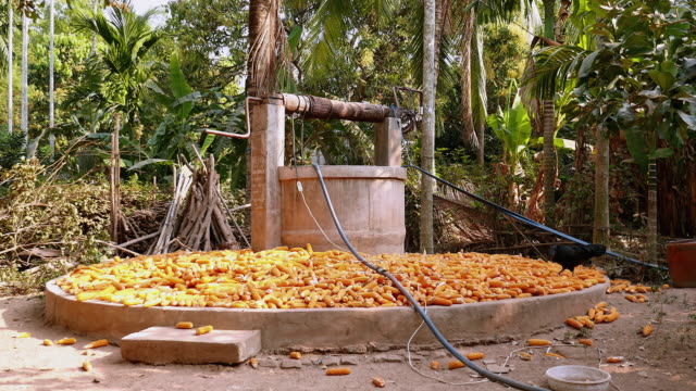 poultry pecking for corn kernels from corn cobs laid around water well inside a farmyard - cambogia video stock e b–roll