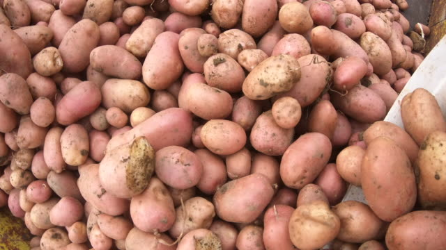 Pouring Harvested Potato From Bucket on to a Trailer Pouring Harvested Potato From Bucket on to a Trailer. red potato stock videos & royalty-free footage