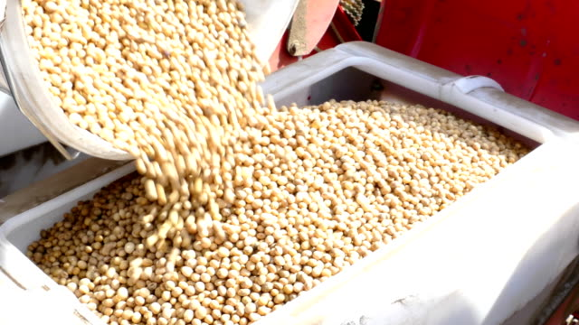 Pouring soybean seeds for planting Preparing for sowing, pouring soybean seeds for planting sowing stock videos & royalty-free footage