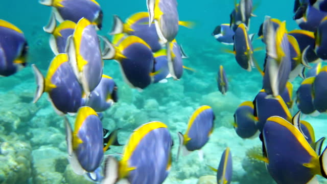 Powder Blue Surgeonfish Dance video