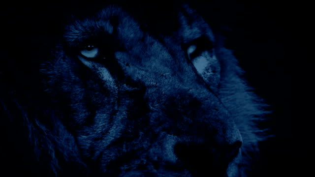 Powerful Lion Face Looking Around At Night video