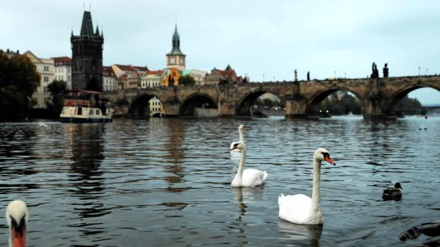 プラハ、チェコ共和国。ホワイトは、ヴルタヴァ川で泳いでいる白鳥します。背景の有名な古いチャールズ橋 - チェコ共和国点の映像素材/bロール
