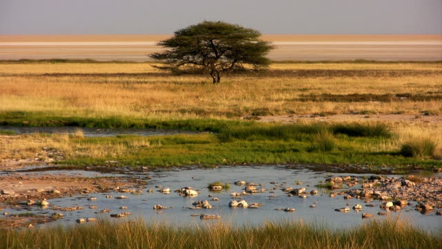 Prairie acacia waterhole African panorama with acacia and water hole waterhole stock videos & royalty-free footage