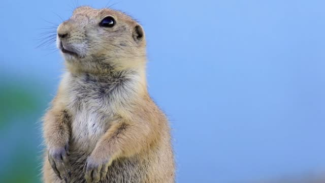 Prairie Dog on blue background moves mouth and looks left, right then center and goes away