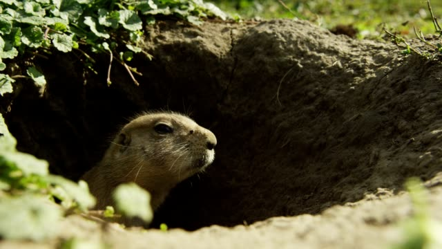 Prairie Dog video
