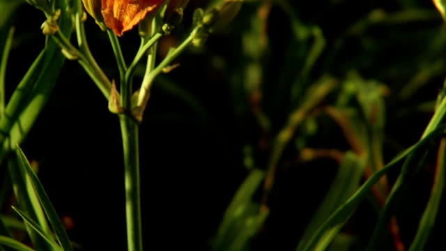 prairie flowers: orange daylily