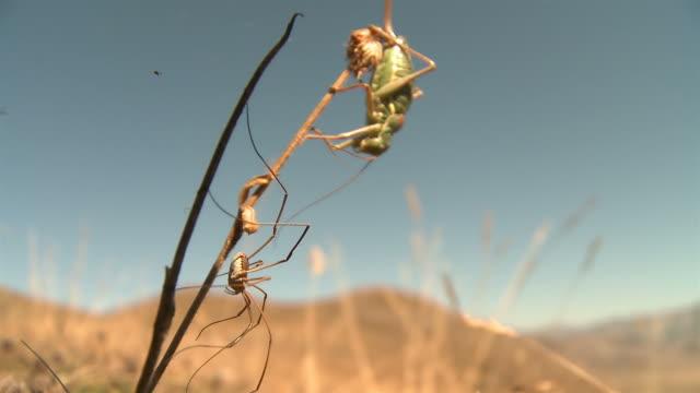 prairie insekten - grashüpfer stock-videos und b-roll-filmmaterial