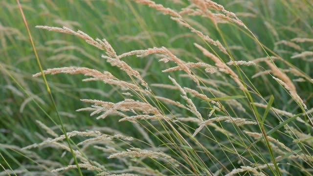 Prairie Life Native Grasses Number 3 video