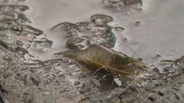 Prawn crawling in swamp Close-up prawn crawling in the swamp freshwater stock videos & royalty-free footage