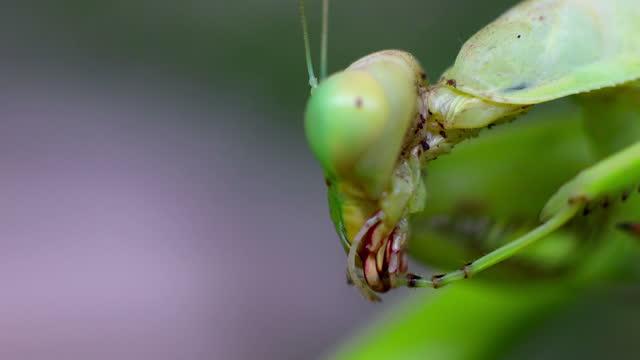 Praying mantis cleaning it's self video