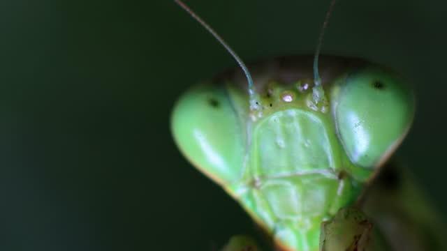Praying mantis Close-up video