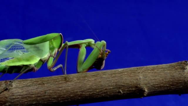 stockvideo's en b-roll-footage met praying mantis feeding on grasshopper - blue sky