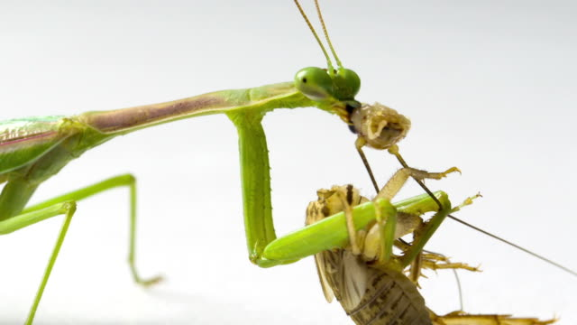 Praying Mantis Feeding video