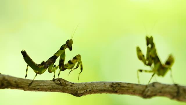vídeos y material grabado en eventos de stock de mantis lucha. - lucha
