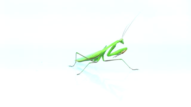 Praying mantis insect turning around and flying away video