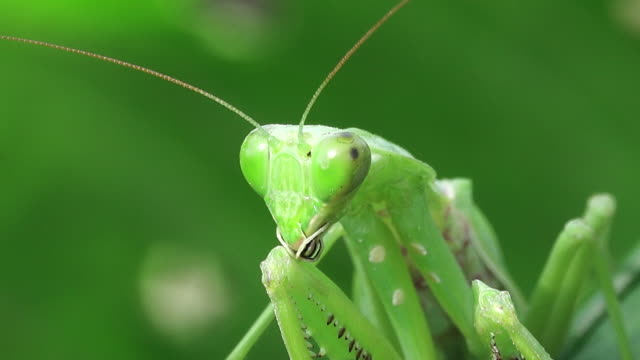 Praying mantis on a leaf video