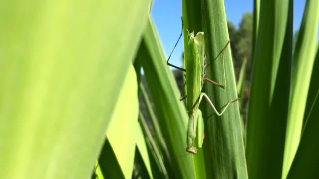 Praying Mantis on green leaf video