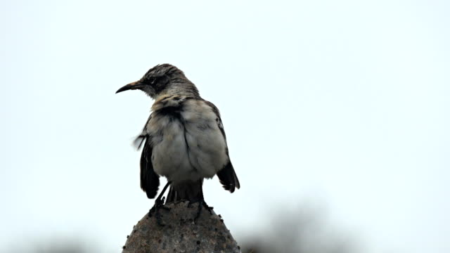 vídeos de stock, filmes e b-roll de estratagemas passarinho na ilha genovesa nas galápagos - ilha genovesa