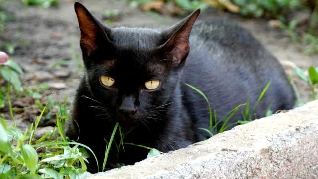 vídeos y material grabado en eventos de stock de embarazada negro gato de mentira - vibrisas