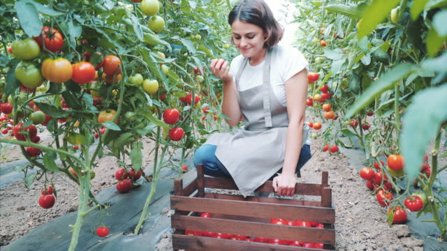 Preparing a new order for my customers. Young woman gardener working in her greenhouse. She is picking up tomatoes for her online clients. homegrown produce stock videos & royalty-free footage